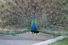 eyes (federica_leveratto) Tags: pavone aperto animals aussie australia altina park peacock eye eyes