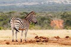 Zebra standing at the empty watering hole (charissadescande) Tags: africa natural safari herd william mammal south look animal plains named wild herbivore way african black burchells quagga white lines eating stripes green subspecies after closeup pattern zebra time travel background national standing nature burchell grass john explorer wildlife southern striped outdoors british camera grassland park sky naturalist wilderness field