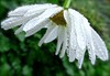 White Water Veil (Pufalump) Tags: margareta flower nature petals water droplets rain daisy green leaves