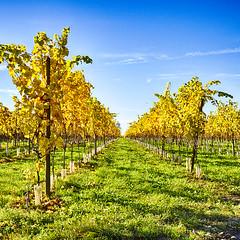 Autumn Vineyard (enneafive) Tags: vineyard autumn yellow green sky blue olympus omd em5 closlesramiers