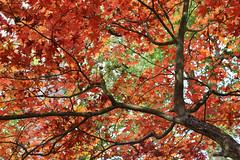 Autumn canopy (sarah_presh) Tags: autumn red leaves trees winkworth arboretum winkwortharboretum surrey england nikond750