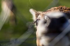 _IMG6062 (leroypierrick) Tags: animaux creuse daim evauxlesbains france limousin suede