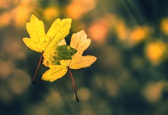 So this is goodbye.. (Photography by Julia Martin) Tags: photographybyjuliamartin sothisisgoodbye autumn autumnleaves fallingleaves creativeedit