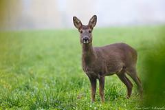 494B8440-2 (Khatgs) Tags: chevreuil chevrette daim wildlife animals animaux belgium afft