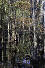 Cypress Slough 2 (Scott Sanford) Tags: 6d bigthicket canon cypress eos easttexas nature outdoor reflection texas water contrast dark moody plants swamp trees ef2470f28l topazlabs sunlight lightandshadows