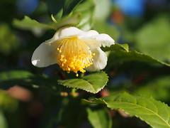 茶の花 (Polotaro) Tags: mzuikodigital45mmf18 flower nature olympus epm2 pen 花 自然 オリンパス ペン チャ 11月