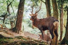 Kasugataisha  Nara () Tags: kasugataisha   nara kasuga shrine  japan olympus penf panasonic dg 425mm f12  deer