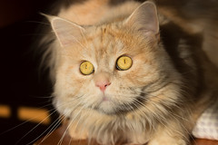 What's that strange light in front of my window ? (FocusPocus Photography) Tags: linus katze kater cat chat gato tier animal haustier pet
