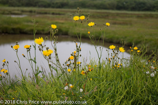 Dandelions at Hengistbury Point