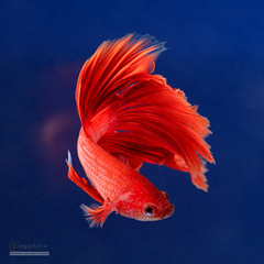 Curve (syphrix photography) Tags: siamese fighting fish syphrix singapore pet betta splendens aquarium aquatic animal red territorial small spread fin flare long tail elegant colourful freshwater canon 2016 fight portrait