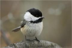 Black-Capped Chickadee (Chris Lue Shing) Tags: nikond50 nikonafs70300f4556gvr bird aurora ontario nokiidaatrail mckenziemarsh nature chrislueshing afsnikkor70300mm14556g