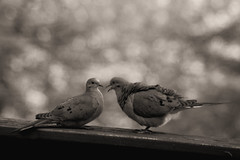 If I've told you once, I've told you a thousand times... (vbd) Tags: pentax k3 vbd smcpentaxda55300mmf458ed ct connecticut bird newengland bw blackandwhite sepia handheld monotone mourningdove 2014 spring2014 monochrome