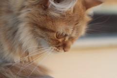 profile (deadoll) Tags: morning red pet cats sun sol animal cat canon fur ginger kitten kat penelope kittens gato penny 7d gata felino kit pur ruiva babycat tigrado sooc gatotigrado canon7d catnipaddicts