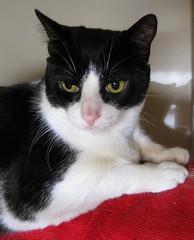 458-November'11 (Silvia Inacio) Tags: cats cat gatos tuxedo gato noddy cc100