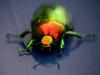 Arco Iris alado (melibelulamelibea) Tags: macro arcoiris colores cucarron