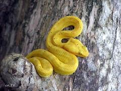 Vipère de Schlegel (co_73) Tags: costa rica cahuita schlegel vipère