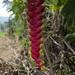 Curioso fiore amazzonico