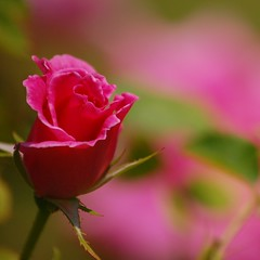 For the roses, the dusk, the dew . . . (Donald Lee Pardue) Tags: roses poetry poem ellawheelerwilcox platoniclove