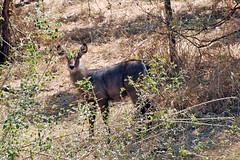 Victoria Falls_2012 05 24_1679 (HBarrison) Tags: africa hbarrison harveybarrison tauck victoriafalls zimbabwe zambeziriver mosioatunya waterbuck taxonomy:binomial=kobusellipsiprymnus