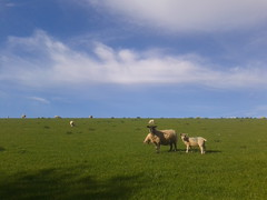 Ewe and Lambs near Crantock, Cornwall (WhirlyDave) Tags: cornwall sheep newquay lamb lambs ewe crantock flickrandroidapp:filter=none