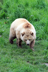 Braunbr (-Julia_) Tags: bear brown green nature beautiful grass canon germany photography eos photograph br braunbr 1100d