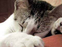 Sleepy cat (esavitri) Tags: cat kitten kucing