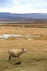 Sheep Iceland (RemyDemichelis) Tags: snow field landscape neige sheeps mouton brebis