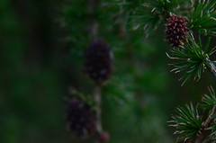 Catharsis. (-gocsa_indie-) Tags: tree green nature pine cone cones meaningful