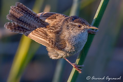 Marsh Wren - IMG_5660 (arvind agrawal) Tags: ca bird wildlife marsh wren alviso marshwren cistothoruspalustris