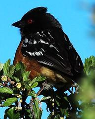 Spotted Towhee_005 (Circled Thrice) Tags: bird colorado sparrow coloradosprings towhee spottedtowhee pipilomaculatus birdphotography birdphoto birdpicture rampartpark