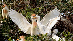 Cattle Egret family drama :) (elnina999) Tags: trees bird heron sanantonio texas cattle egret tropics subtropics yellowbill nearwater whiteplumage nikond5100 nestincolonies yellowlegsbrackenrigepark