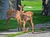 Baby Elk (Amy Hudechek Photography) Tags: montana wildlife mammoth yellowstonenationalpark elk ynp calves babyanimals happyphotographer amyhudechek