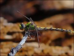 Dragonfly (pjmaudsley) Tags: me2youphotographylevel2 me2youphotographylevel1