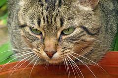 Tabby Cat Plotting (Daisy Waring World) Tags: cat tabby catseyes catsnose catswhiskers catdrinkingwater