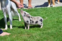 2013-09-04 460 (CSBeck) Tags: vacation lake gris pig piglet juliana fingerlakes laborday hammondsport keuka juliani