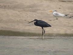 Western Reef Heron (Dark Morph) (Makgobokgobo) Tags: africa bird heron sierraleone peninsula river2 no2 egretta darkmorph egrettagularis westernreefheron riverno2 westernarea