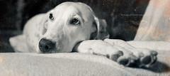 * (Bea Burin-Herbst | Fotografie) Tags: portrait dog pet pets dogs blanca hund dalmatian hunde dalmatiner petphotography hündin tierfotografie petphotographer haustierfotografie burinherbstphotography