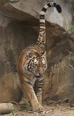 tiger tail (ucumari photography) Tags: sc zoo october south tiger columbia carolina siberian amur riverbanks 2013 6518 specanimal ucumariphotography