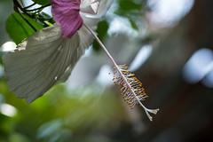 Hibiscus (rpatti47) Tags: flowers ontario canada niagarafalls niagrrafalls