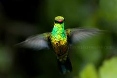 como un ngel... (..Cecilia..) Tags: naturaleza hummingbird colores nostalgia ave alas pjaro pajarito colibr picaflor plumaje zumbador dasdelluvia aveenvuelo pjarovolando mainumb pjarosolitario alasdesplegadas colibrenvuelo avechamanico avemstica