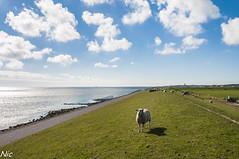 Dike Terschelling (Nic Stoetman) Tags: netherlands terschelling waddenzee groen sheep nederland wolken gras dijk dike schapen westterschelling schaap 2013
