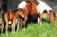 . .. .SIGUIENDO A MAMA !!! (Clic - Fany Romano) Tags: naturaleza canon caballo natura campo potrillo blinkagain blinksuperstars fanyromano