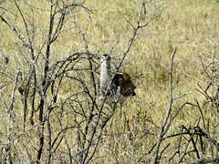 Kori Bustard (Ardeotis kori) (Linda DV) Tags: koribustard ardeotiskori otididae bird geotagged geomapped powershotsx40 nature river 2013 lindadevolder canon travel africa southernafrica namibia etosha nationalpark gompou iucnredlist nearthreatened otidiformes