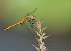 Blutrote Heidelibelle (Sympetrum sanguineum) 5694 (fotoflick65) Tags: closeup bug linz insect dragonfly 14 ds pro 300 75 libelle insekt f8 garten leopold libellulidae bof botanischer sanguineum kenko heidelibelle sympetrum 300mmf4d dgx iso720 iso400800 blutrote segellibelle st1000 d7000 groslibelle kepplinger y2013 fl420 fl400450 st8001600 fotoflick65 ni300 ym07