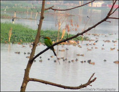 Green Bee Eater (Anubhab's Photography) Tags: red india west green birds asia bhutan bee list species least kolkata birdwatching bengal bangladesh calcutta eater dey beeeater concern the merops iucn meropidae santra orientalis jheel anubhab ferrugeiceps gacchi