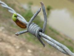 Adversidade (Jnio Klo #9) Tags: verde natureza cerca arame farpado