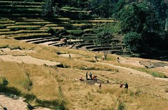 Rice harvest near Bahundanda, Annapurnas round trek, Himalaya, Nepal, 2004 (mathieu.LM) Tags: nepal mountain 2004 analog trekking trek landscape rice farmers harvest round himalaya ricefields annapurna annapurnas canoneos300 bahundanda