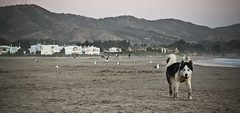 Cachagua (PabloDiazdeValds) Tags: dogs animals perros