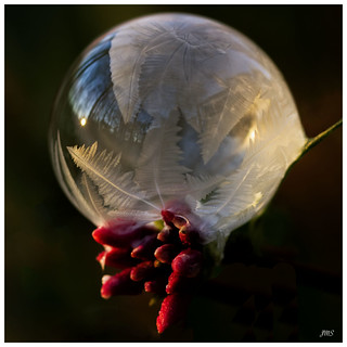 Ice Bubble & Daphne Buds ©