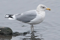 Gull (surfbird917) Tags: city ny newyork bird sam adult gull id stuart unknown daytime herring